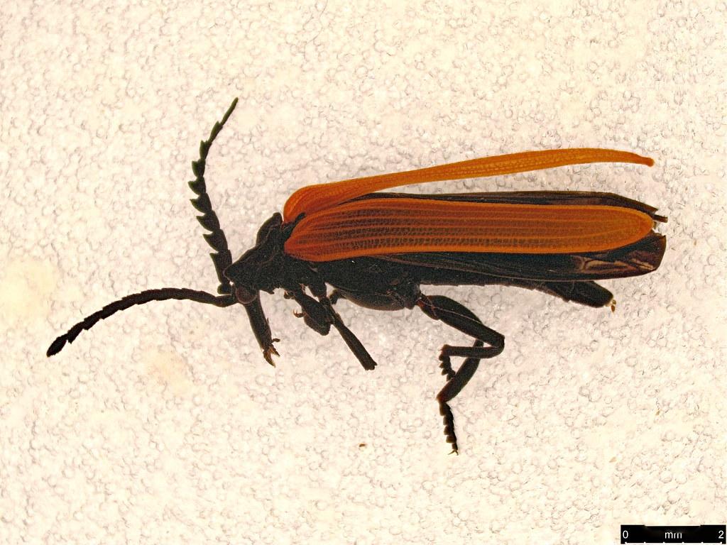 30 - Porrostoma rhipidium (Macleay, 1826)