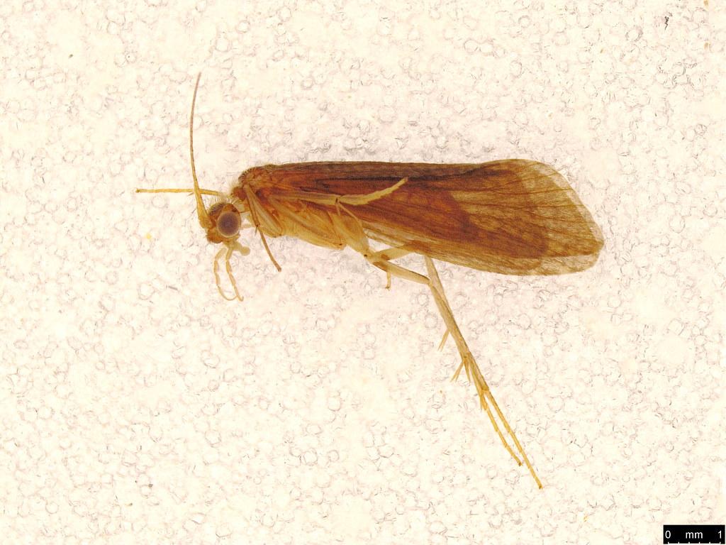 40 - Trichoptera sp.