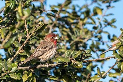 sanrafael california unitedstates lasgallinas nature northerncalifornia birds bayarea housefinch