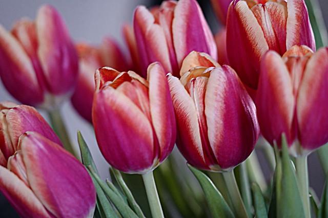 Kissing Tulips