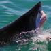 Shark attack !!!