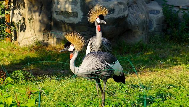 Vibrant Grey Crowned Crane