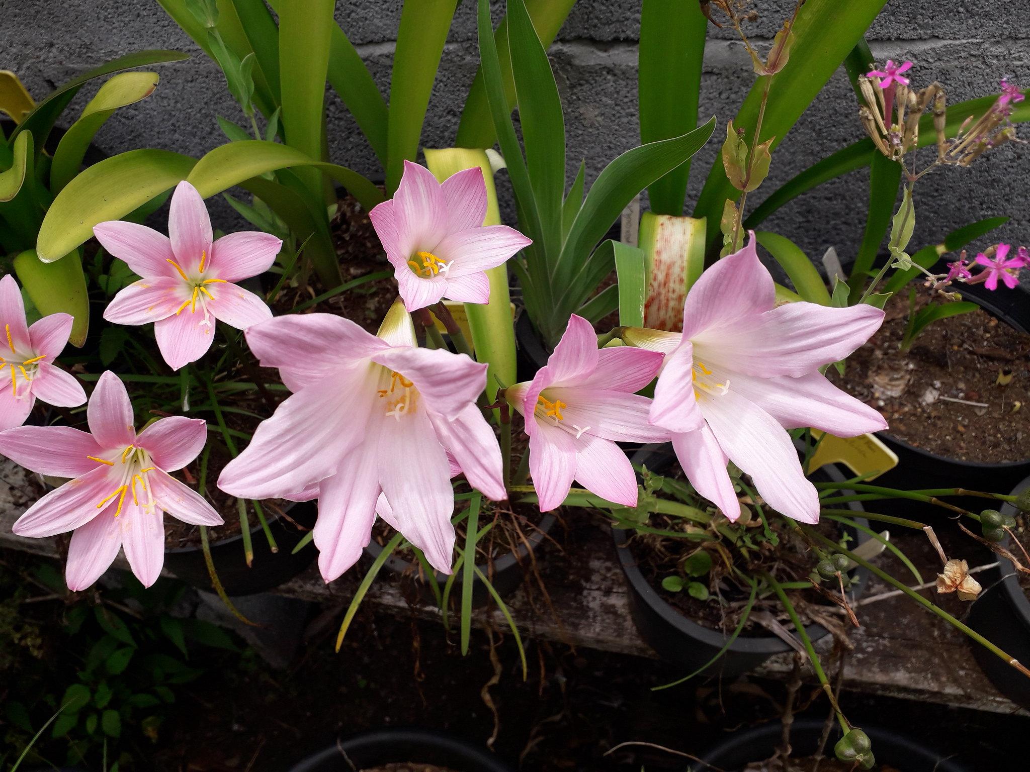 Quelques floraisons du jardin... 50717778513_4022de3f60_k