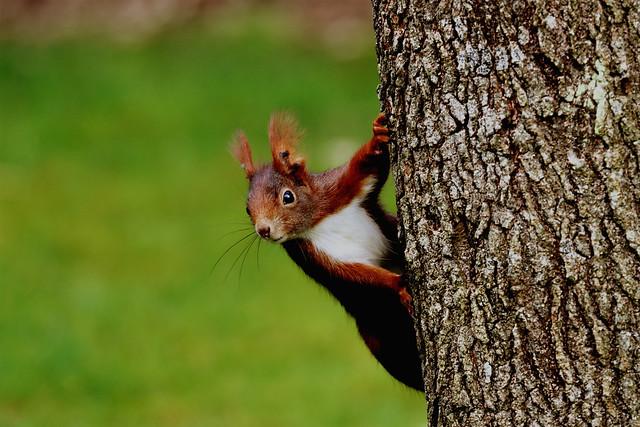 Eichhörnchen Squirrel