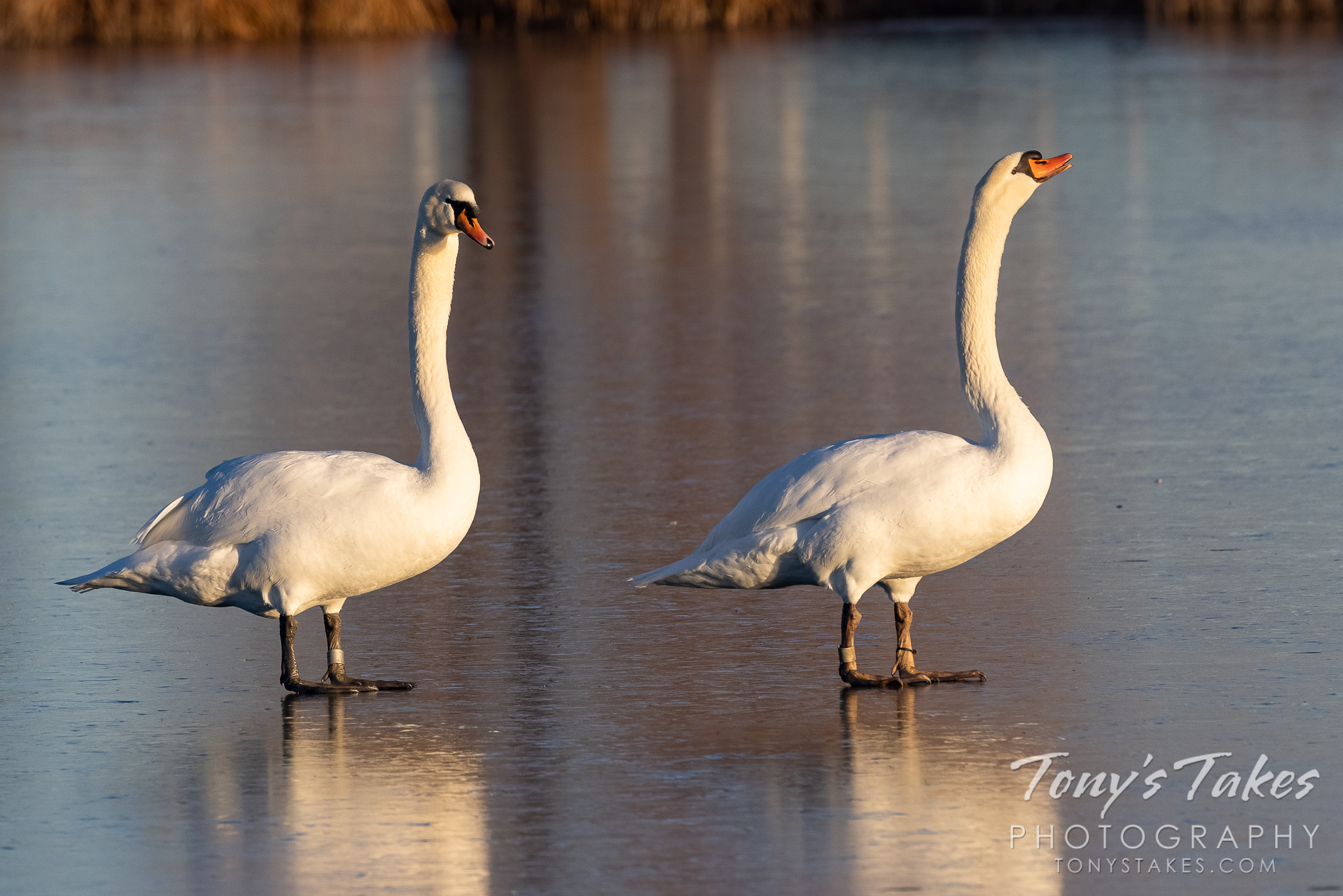 Mute swans walk across a frozen pond in Colorado. (© Tony's Takes)