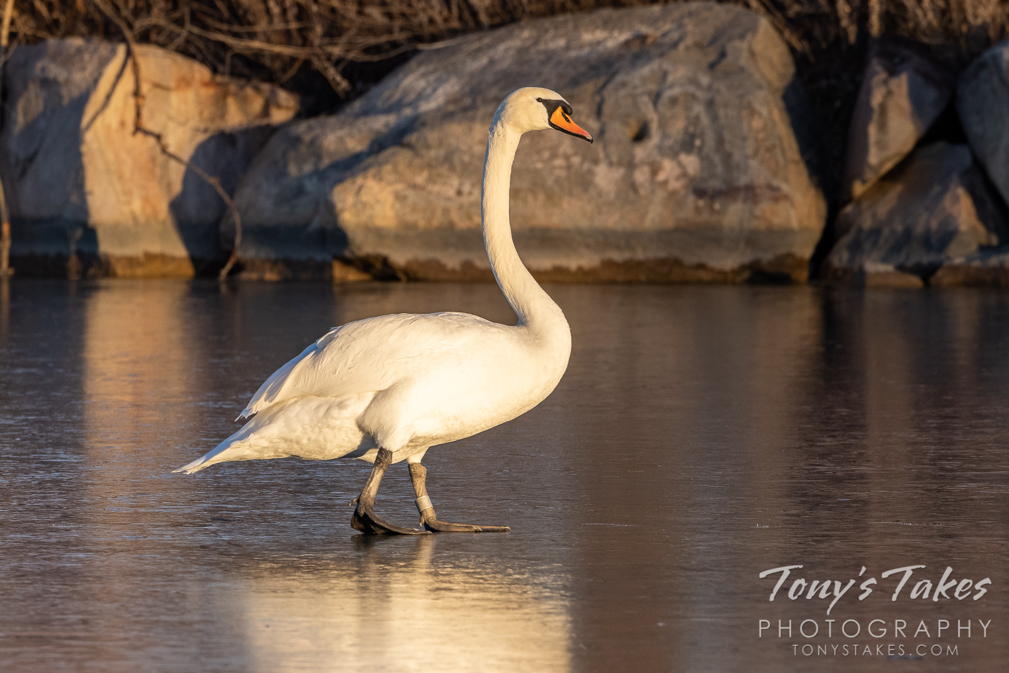A mute swan walks across a frozen pond in Colorado. (© Tony's Takes)