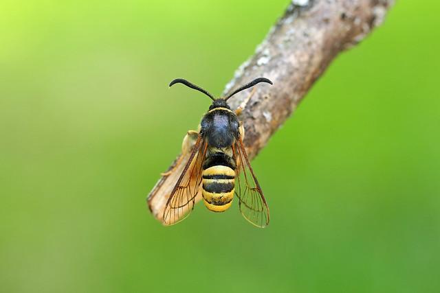 52.003 Lunar Hornet Moth (Sesia bembeciformis), Cullaloe SWT, Fife