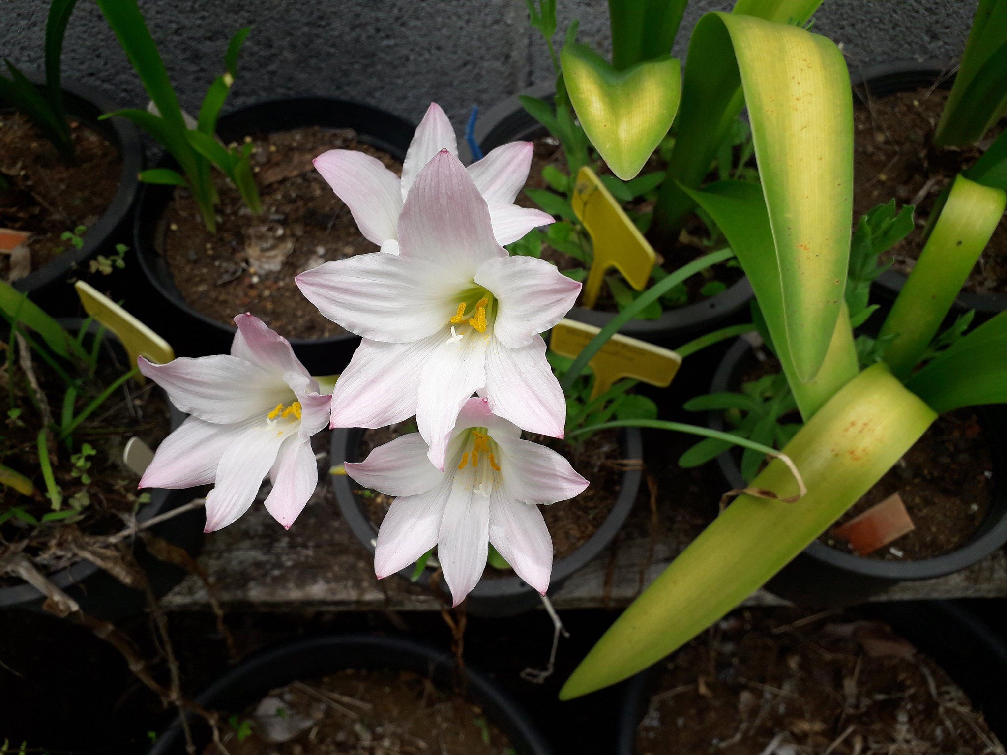 Quelques floraisons du jardin... 50718513086_240b58ae6c_k
