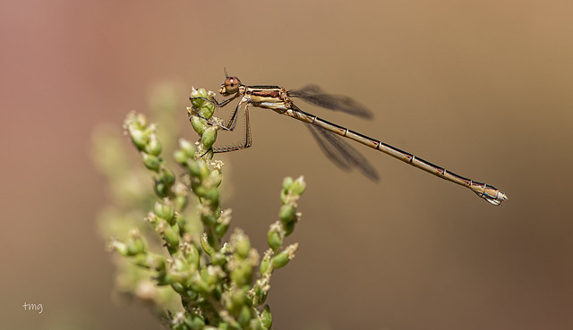Lestes virens (hembra / female)