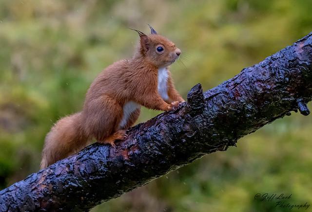 DSC6731  Red Squirrel...