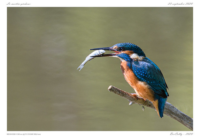 Le martin-pêcheur   common King fisher