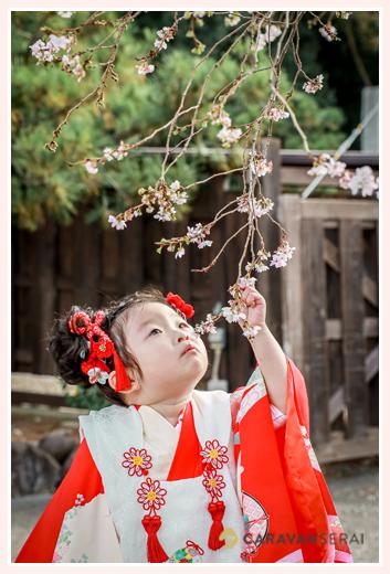 七五三 早咲きの四季桜を眺める女の子