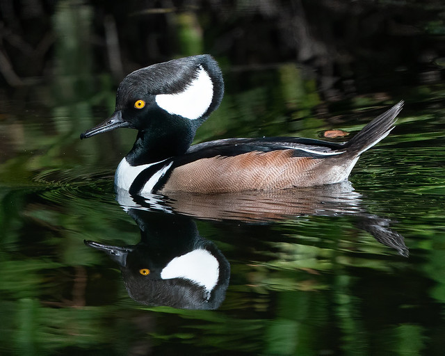 Hooded Merganser and His Reflection
