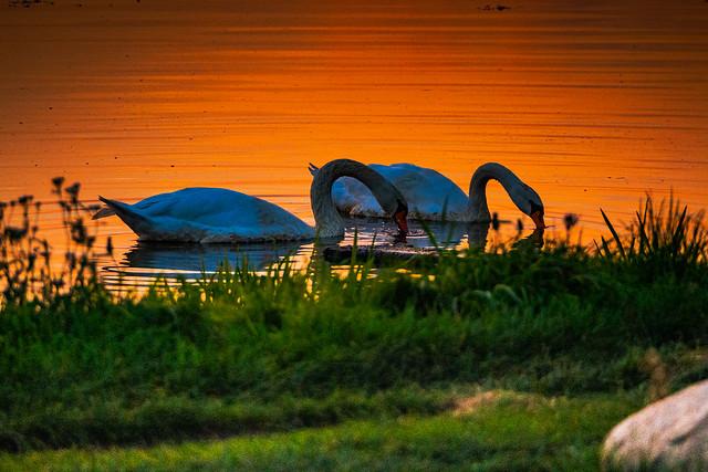 Swan Lake dance