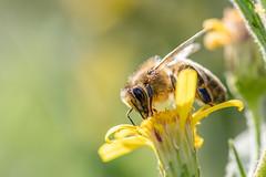 Abeille Européenne - Western honey Bee - Apis mellifera