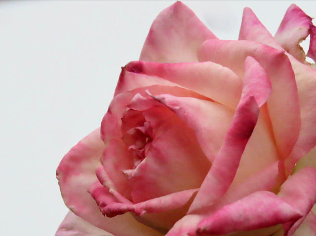 High Key Pink And Cream Winter Rose