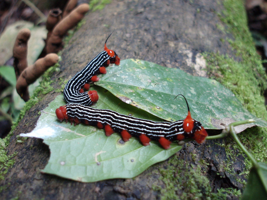 Funky unicorn-caterpillars kicking back on a leaf
