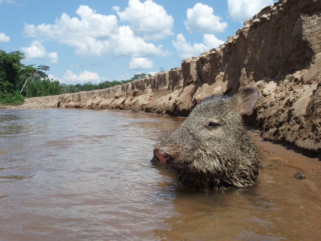 Story of Chancho the Collared Peccary
