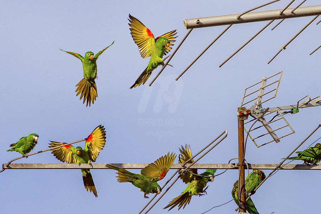 Periquitão-Maracanã | White Eyed Parakeet | Psittacara leucophthalmus + Maracanã-Pequena | Red Shouldered Macaw | Diopsitacca nobilis