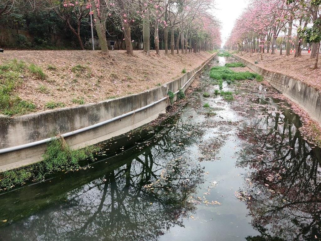 雲林美人樹隧道 (12)