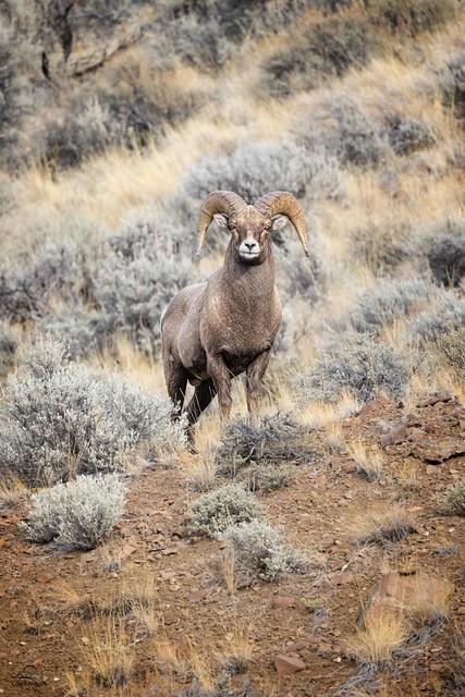 Bighorn Ram on Alert