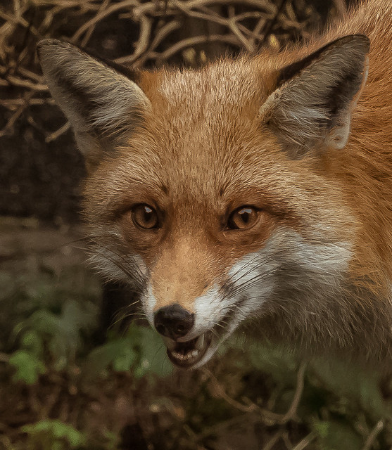 A confident Red Fox.