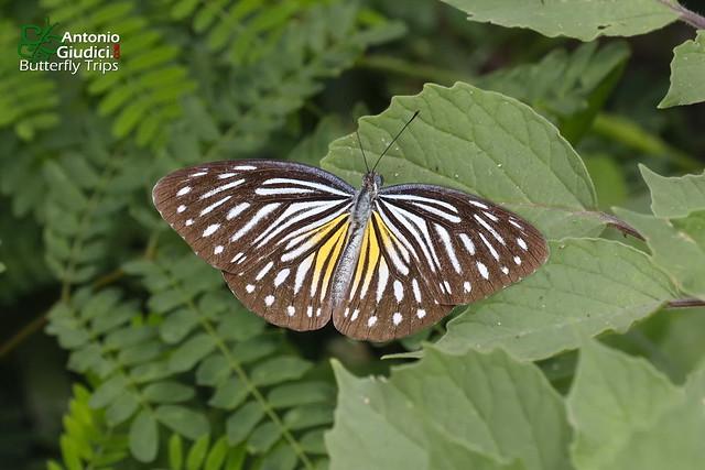 The Common Wanderer ♀ - ผีเสื้อฟ้าเมียเลียนธรรมดา