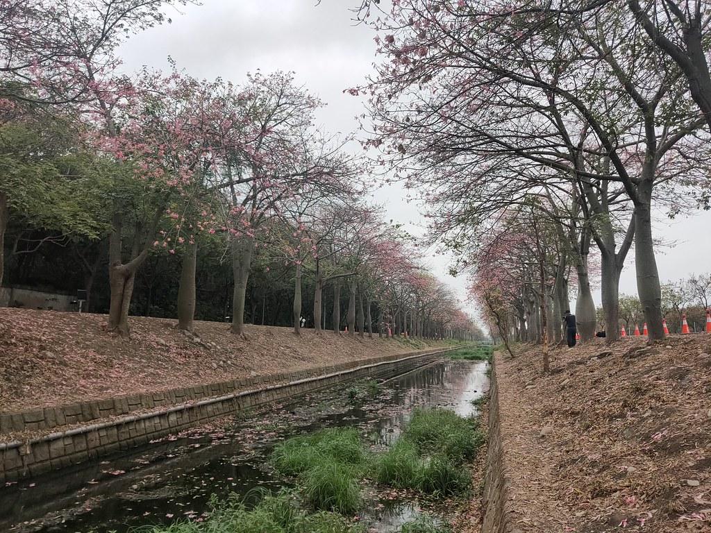 雲林美人樹隧道 (11)