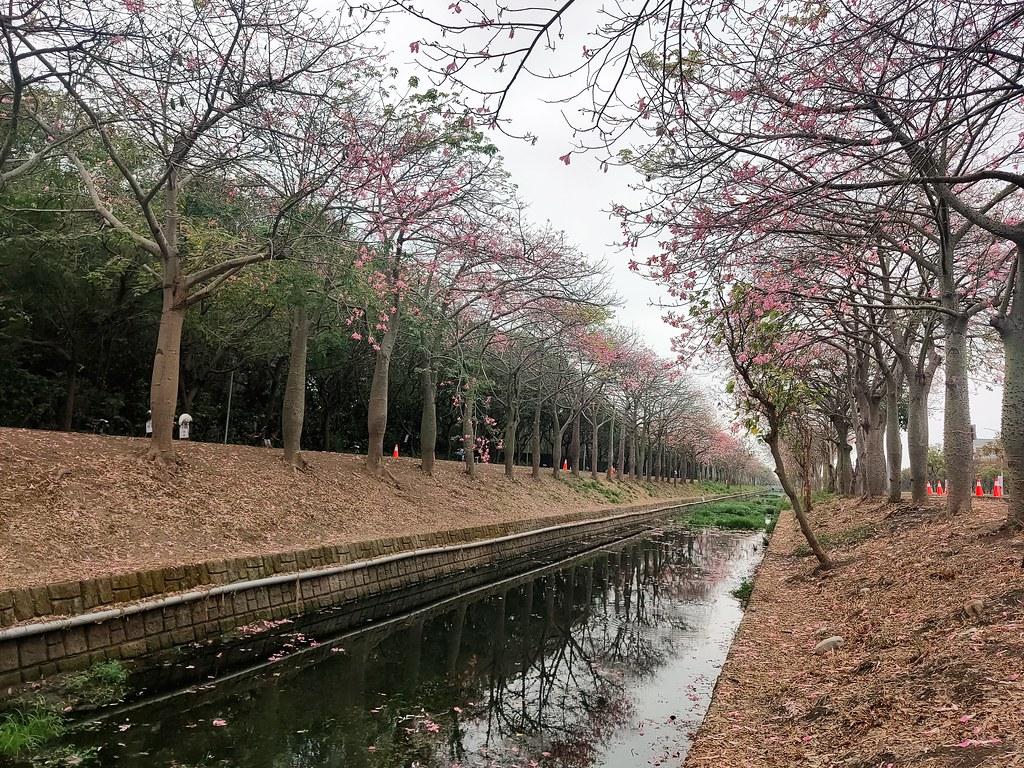 雲林美人樹隧道 (8)