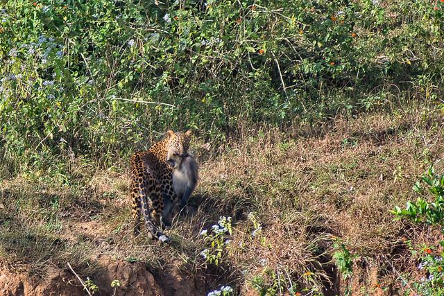 Leopard with Langur Kill