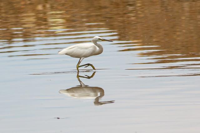 Chinese Egret, 黄嘴白鹭, 黃嘴白鷺, Egretta eulophotes, カラシラサギ, Bangau Cina