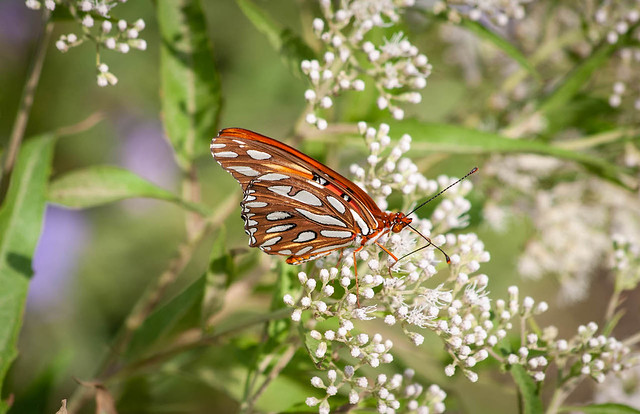 Butterfly on Light Colored Flowers