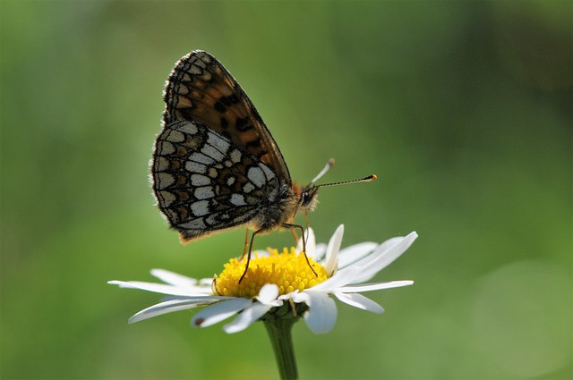 Heath fritillary feeding on Marguerite .01