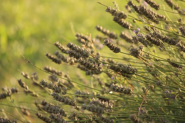 Dry lavender / Száraz levendulák