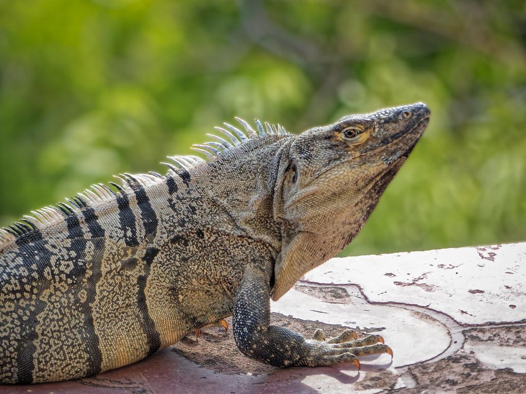 L'iguane  sur la terrasse... 50722537283_960dc7b86e_b
