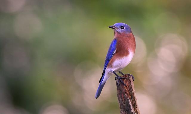 Bluebird (Miranda Lambert) DSC_3948