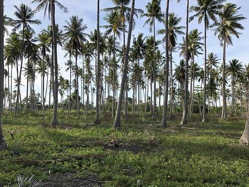 Kokosplantage op de voormalige begraafplaats