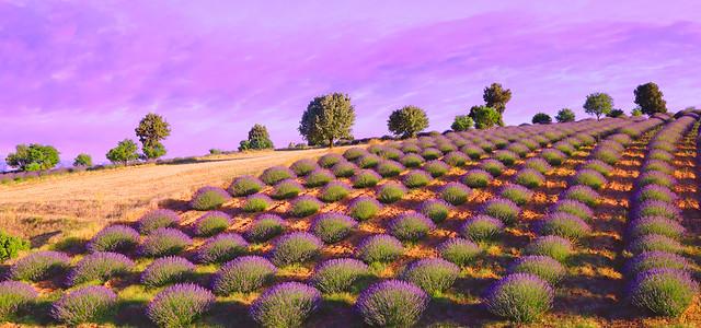 Lavanta Bahçesi -Tarlası(Lavender Garden-Field)