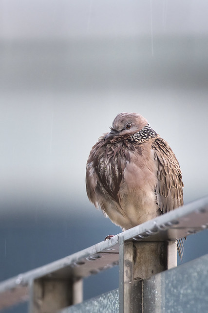 Spotted Dove in the rain - Spilopelia chinensis