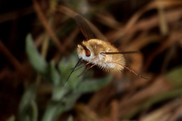 Rolf Nagel-Fl-0099-Anastoechus Bombyliidae