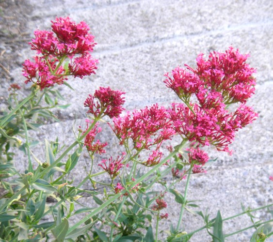 Centranthus ruber 50723552516_0be3a964bb_o
