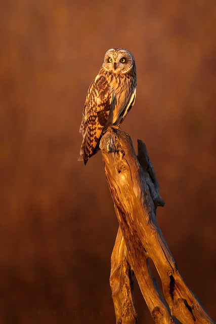 Short-eared owl in golden light