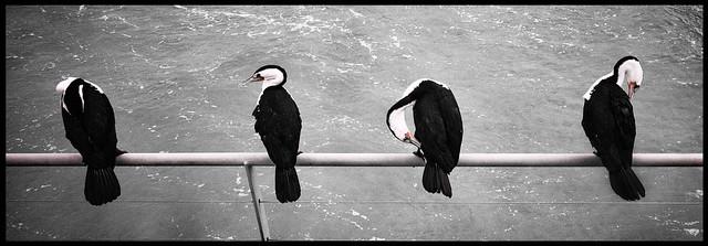 Four Cormorants . Hasselblad Xpan, 45mm