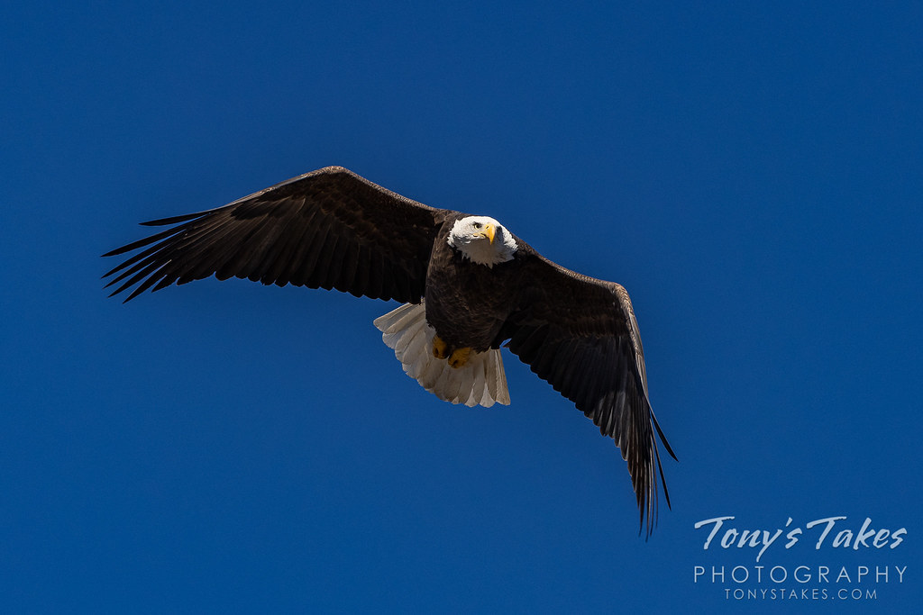Bald eagle against the deep, blue Colorado sky