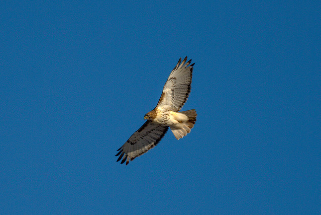 Mighty Red Tailed Hawk