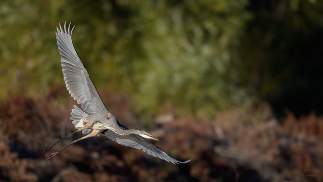 Great Blue Heron  3348