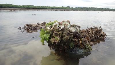 Fluted giant clam (Tridacna squamosa)