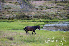 Wild Brumby Lakeside 1590