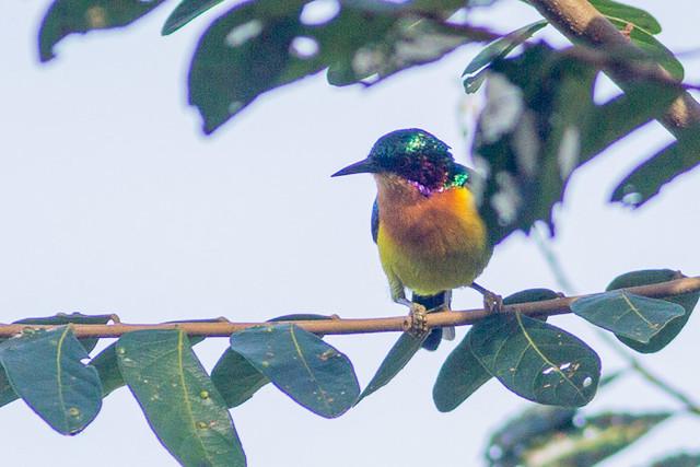 Ruby-cheeked Sunbird  - male