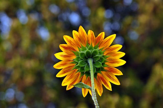 Sunflower backview